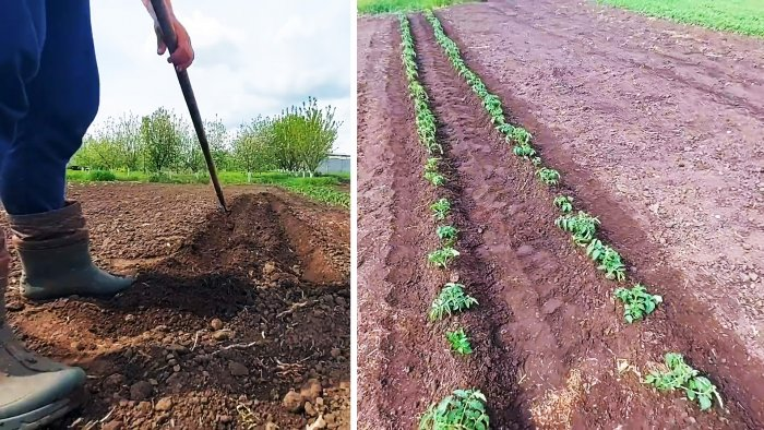 Как выращивать помидоры без единого полива за все лето