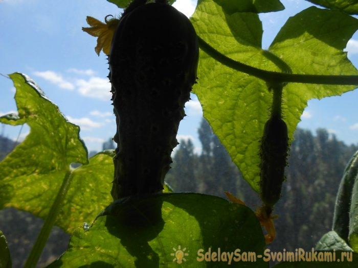 Чем подкормить огурцы в середине лета для повышения урожайности