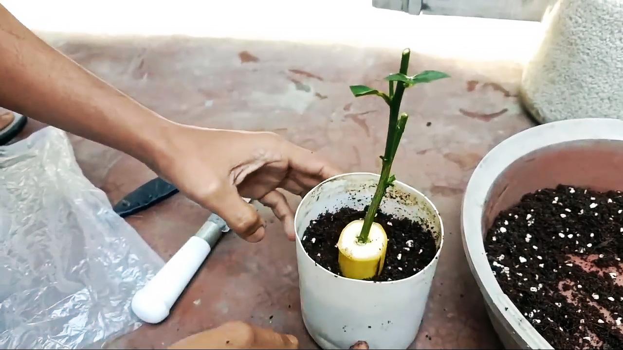Проращиваем саженцы из черенков с помощью банана
