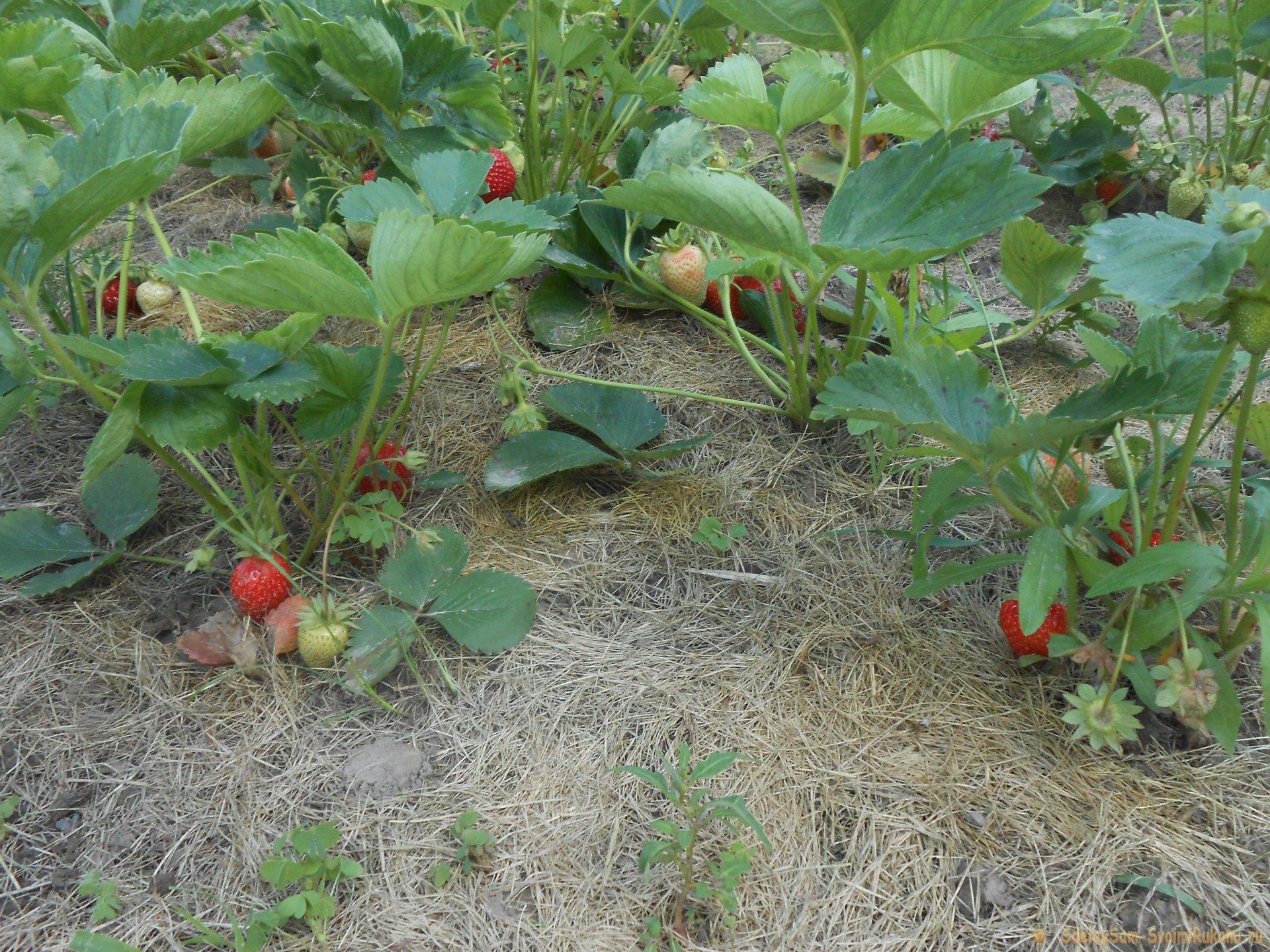 Осенняя посадка садовой земляники со всеми нюансами для обильного урожая