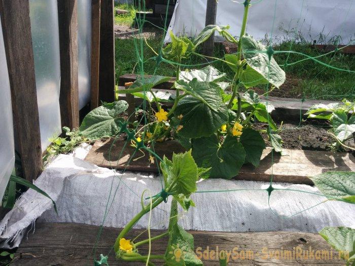 Хотите много огурцов Выращивайте зеленцы на сетке и собирайте без проблем