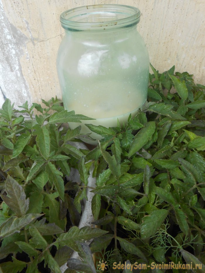 Дрожжевой раствор для однократной подкормки рассады томатов