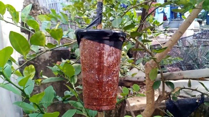Стопроцентный быстрый способ получения саженцев с корнем из любого дерева без прививки летом