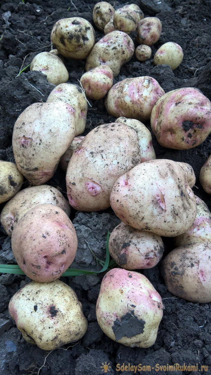 Августовская уборка картофеля. Главное – о предварительной подготовке, правилах выкапывания и секретах зимнего хранения клубней