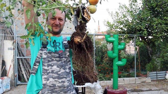 Скрещиваем помидор с картофелем, получаем удивительное растение