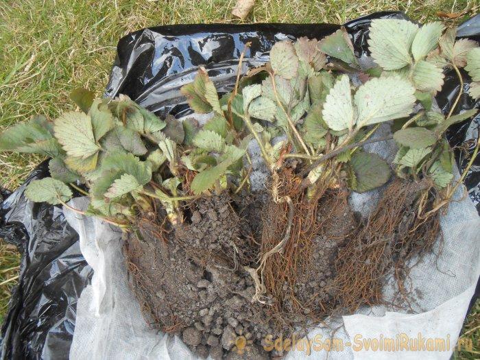 Осенняя высадка рассады садовой земляники в открытый грунт для обильного урожая в следующем сезоне