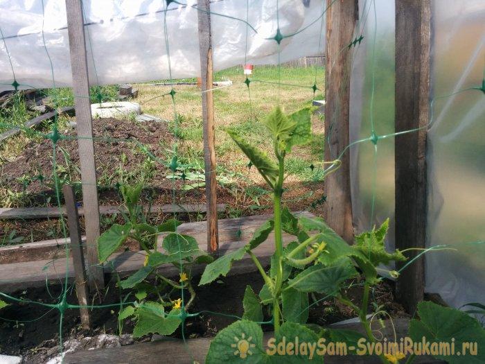 Хотите много огурцов? Выращивайте зеленцы на сетке и собирайте без проблем