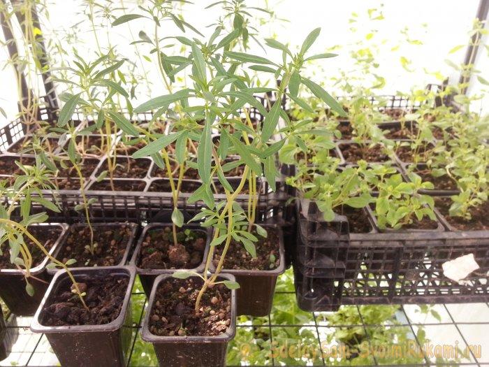 Любите свежую зелень? Вот 7 пряных трав, которые можно выращивать на подоконнике